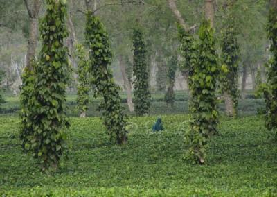 Tea és gumifák, Kázírangá